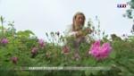 La rose de mai fait sa réapparition à Grasse