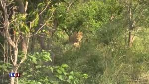 En Afrique, le lion en captivité est nourri pour être chassé