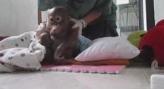 Des orangs-outan de Bornéo (Asie du Sud-Est), capturés dès leur naissance, sont sauvés par des associations, qui leur apprennent à devenir singe.