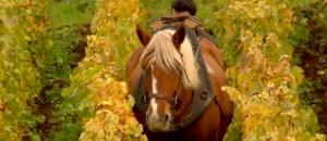 Les chevaux font leur retour dans les vignobles bourguignons