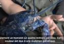 Un homard bleu découvert au Canada