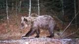 De nouveaux ours dans les Pyrénées
