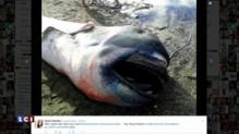 Un requin grande-gueule, espèce très rare, découvert aux Philippines