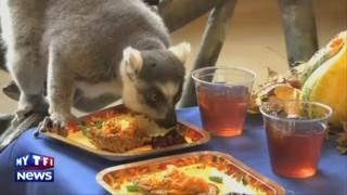 Les lémuriens fêtent Thanksgiving