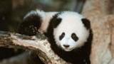Le voyage de deux pandas vers la France contrarié par la crise grecque