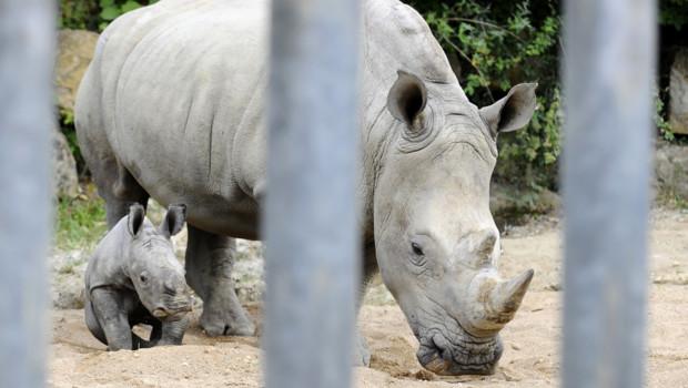 rhinocéros blanc du SUD Amnéville