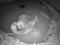 Ces pandas roux poids plume viennent de naître à Chicago