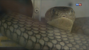 Le 20 heures du 5 août 2013 : Bient�u venin de serpents dans nos m�caments - 1532.954