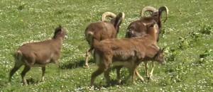 Isère : loups, renards, mouflons, il a créé un parc animalier dans le jardin de son château