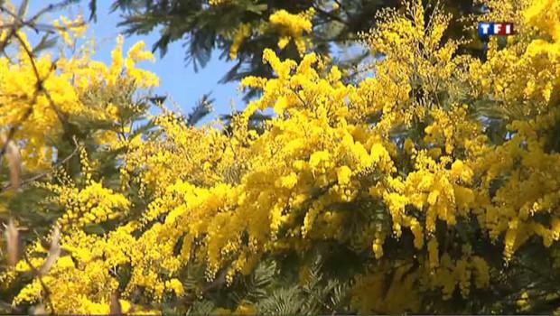 La fleur jaune commence sa floraison normalement à la fin du mois de