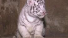 Nés le 26 octobre dans un par animalier à Kunming en Chine, les quintuplés se portent bien.