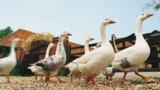 Hollande veut convaincre les Etats-Unis sur le foie gras
