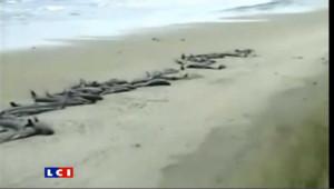 Baleines échouées sur une plage en Nouvelle-Zélande