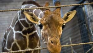 girafon marius copenhague