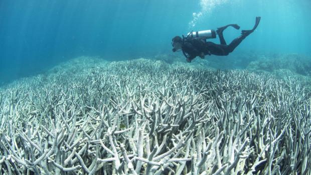 Une zone de la Grande barrière de corail touchée par le blanchiment